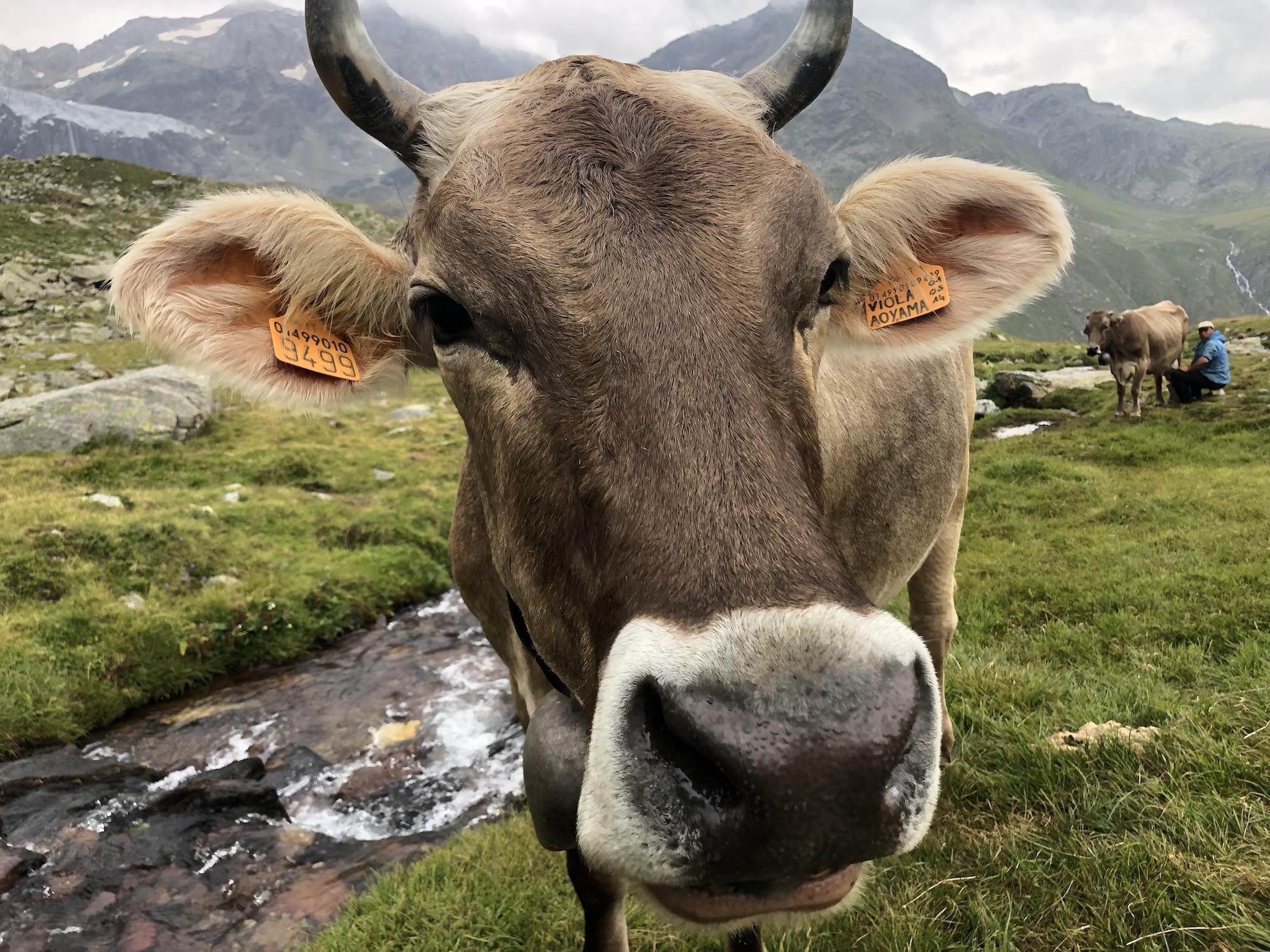 Fieno vs insilati: nei fatti, il gusto del formaggio non cambia