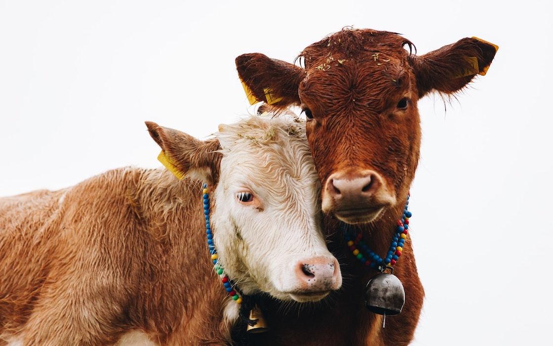 Benessere animale, una faccenda da maneggiare con cura. I casi di Grana Padano e Coop