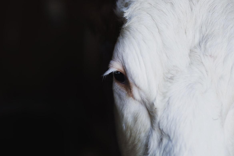 Grana Padano ancora nel mirino di Essere Animali. Ma la stalla, questa volta, è  davvero da brividi